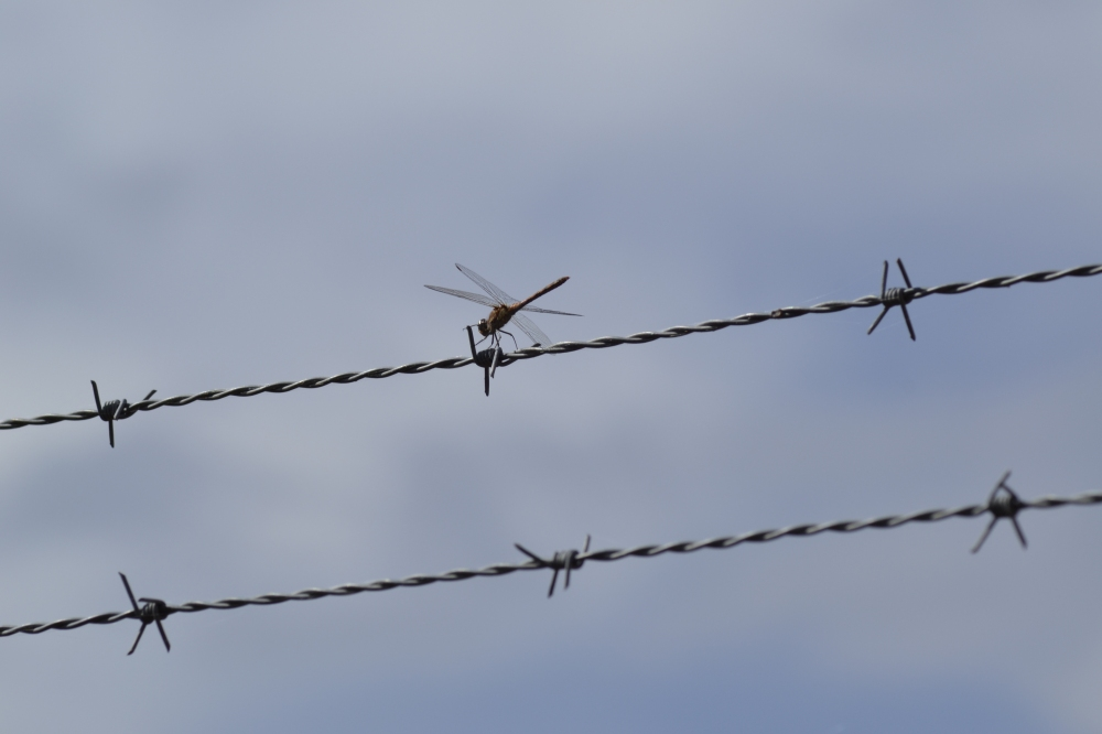 Dragonfly on barbed wire fence - Cabañeros