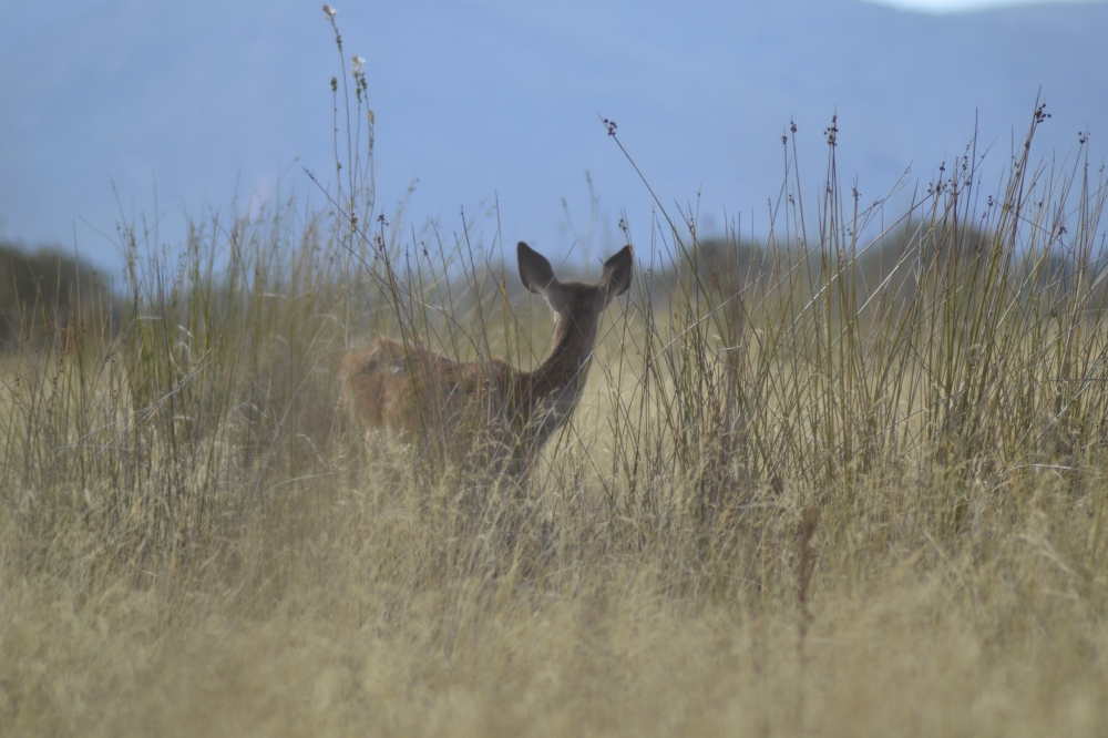 Doe in tall grass Spain