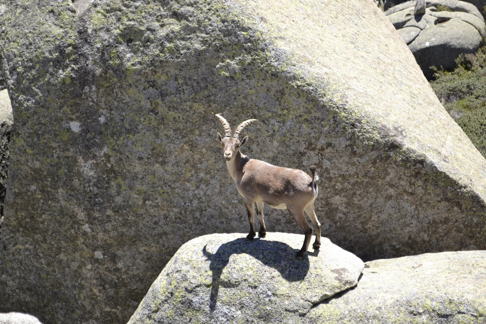 Male Spanish Ibex