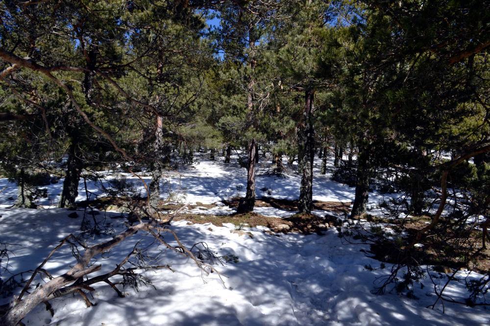 Snowy Trees Abantos