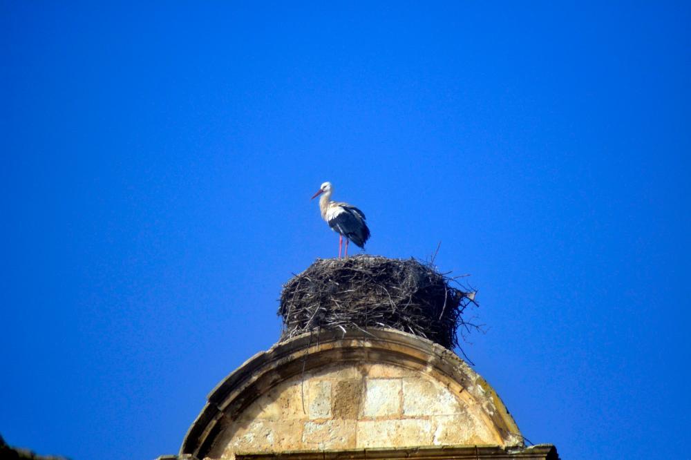White Stork Maderuelo