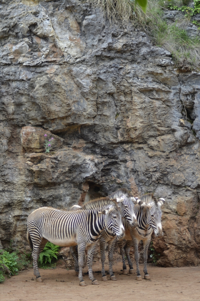 three grevy zebras