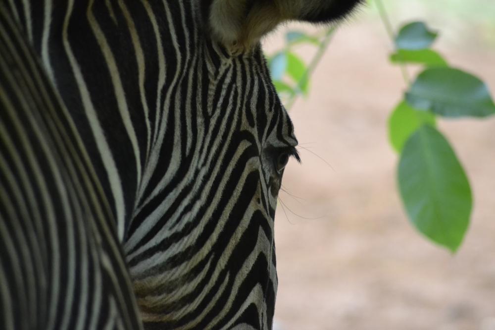 Close up Grevy Zebra