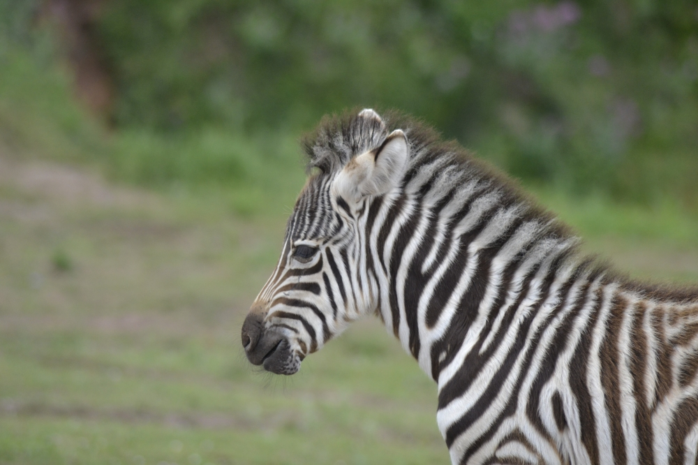 Young common zebra