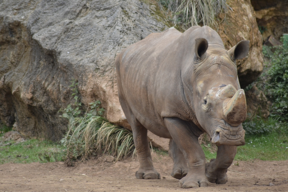 Rhino Cabárceno