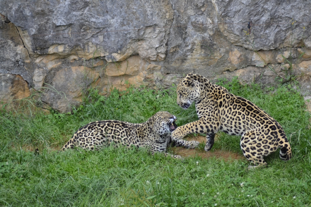 Jaguar fight