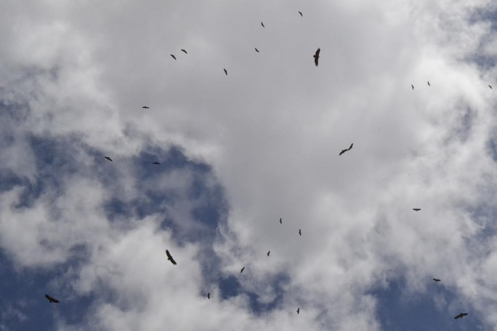 Vultures flying high