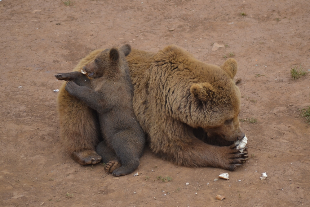 Bear cub and mother