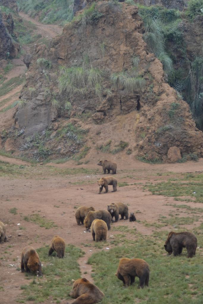Brown bear Cabárceno