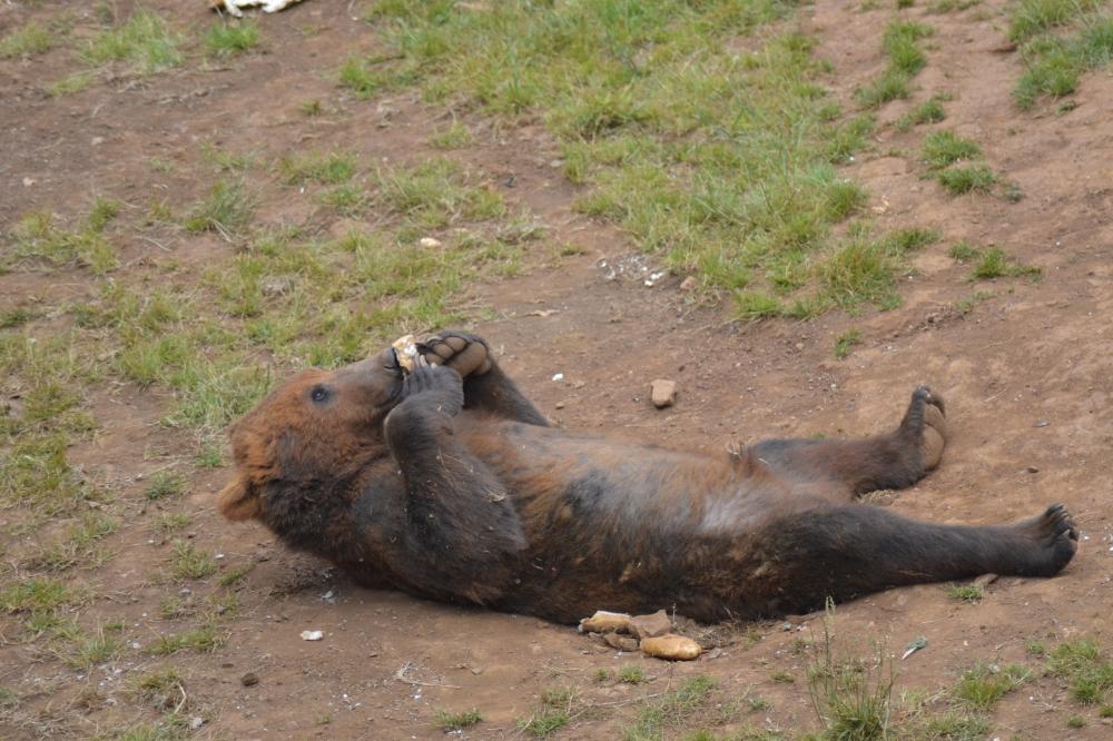 European brown bear eating