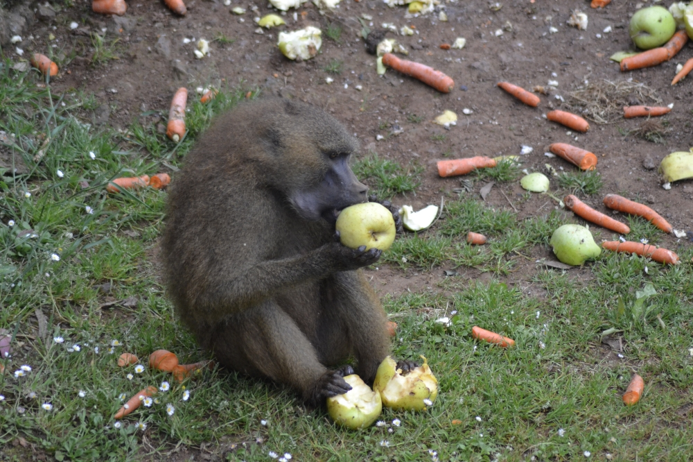 Baboon eating