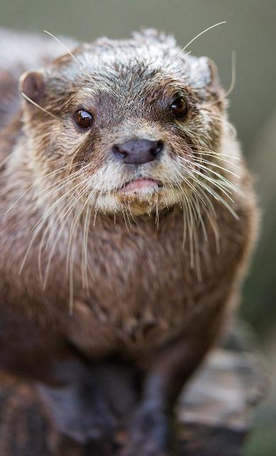 Otter Riaza