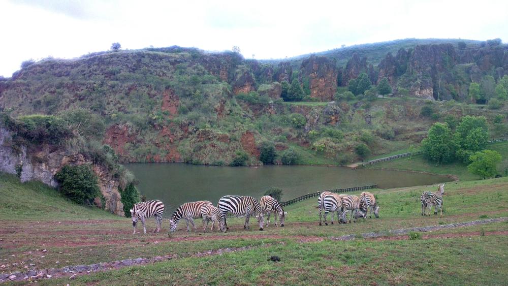 Zebras Cabárceno